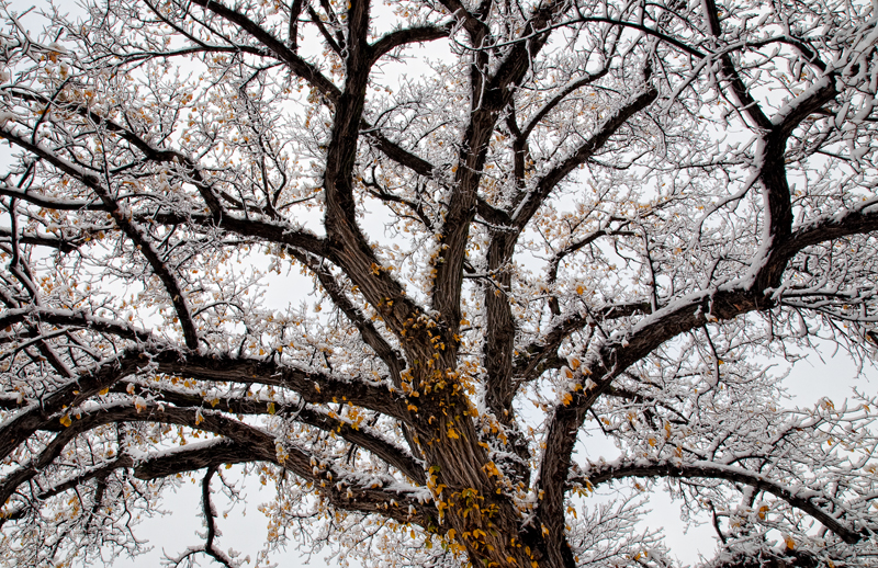 Autumn Tree in Snow. Boulder, Colorado, 2012