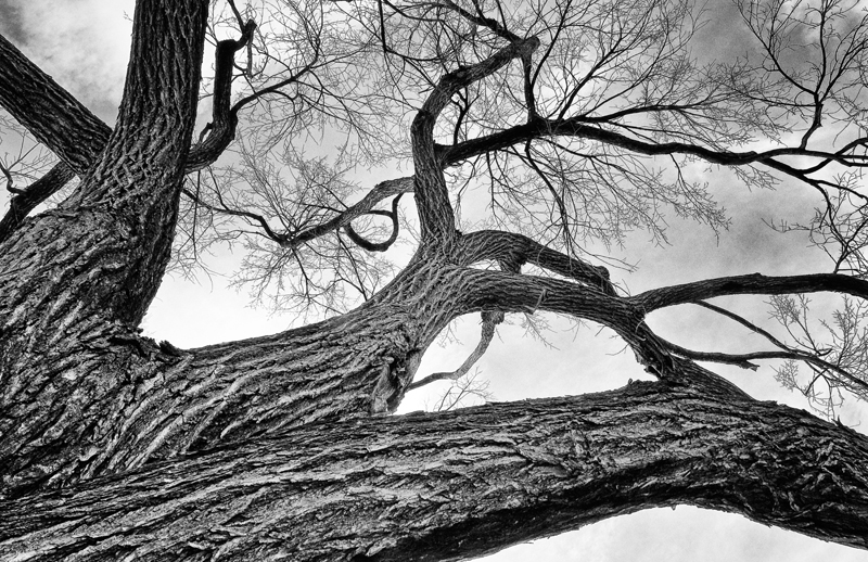 Cottonwood Tree (Flipped!). Denver, Colorado, 2012