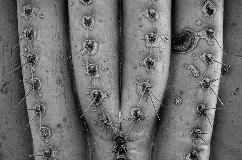 Saguaro Cactus. Tucson, Arizona, 2013