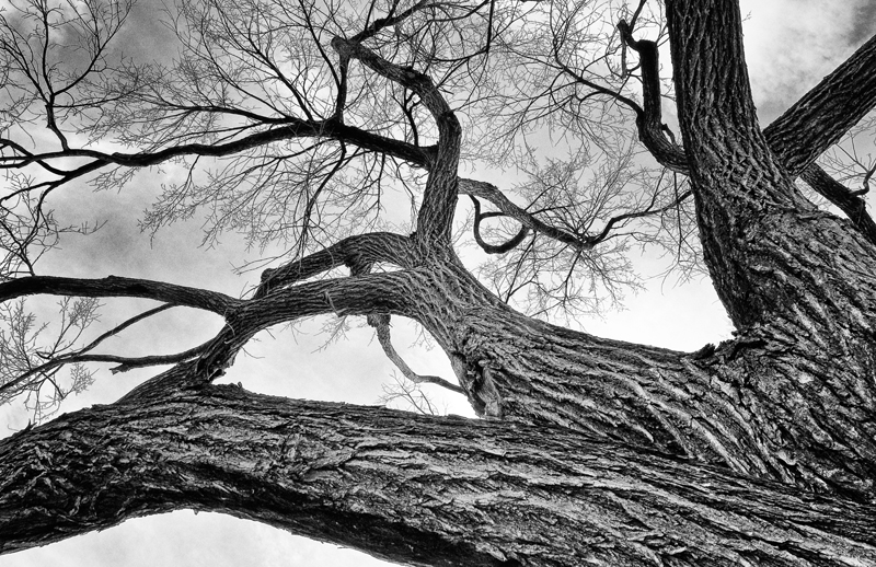 Cottonwood Tree. Denver, Colorado, 2012 (tone comparison)