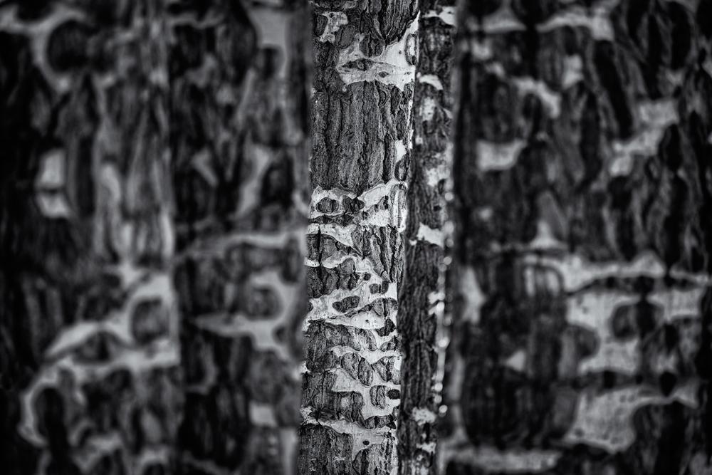 Camouflage, Aspen Detail #5. RMNP, Colorado
