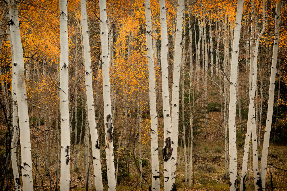 Glowing Aspens. Near Buena Vista, Colorado, 2014