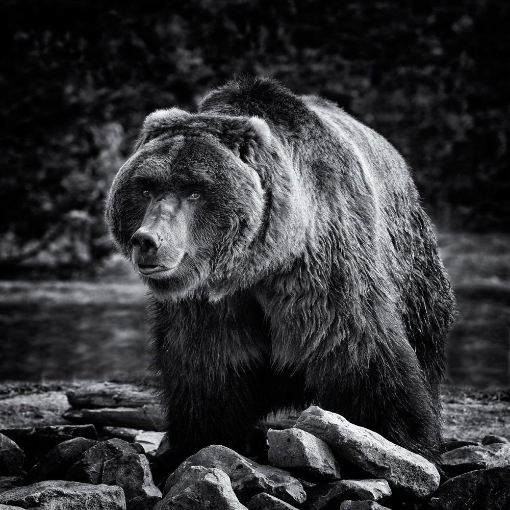 GRIZZ (The Look), #4. West Yellowstone, MT, 2014