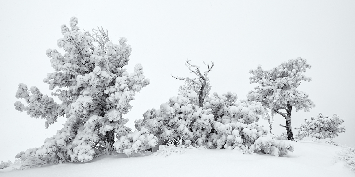 Summit Trees. Sugarloaf Mountain, Colorado, 2014