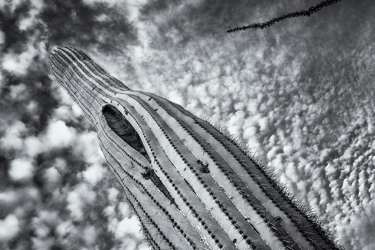 Saguaro and Ocotillo, Cloudscape. Tucson Mountains, Arizona, 2015