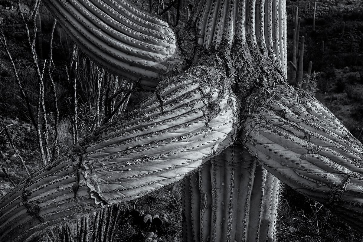 Scarred Saguaro. King Canyon Trail, Wasson Peak area, Arizona, 2015