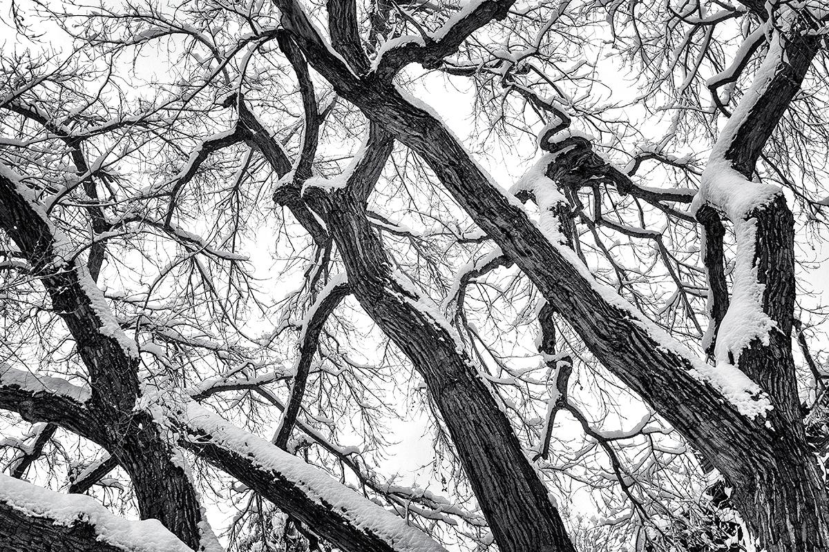 Cottonwood Patterns, Winter. Boulder Creek, Colorado, 2015