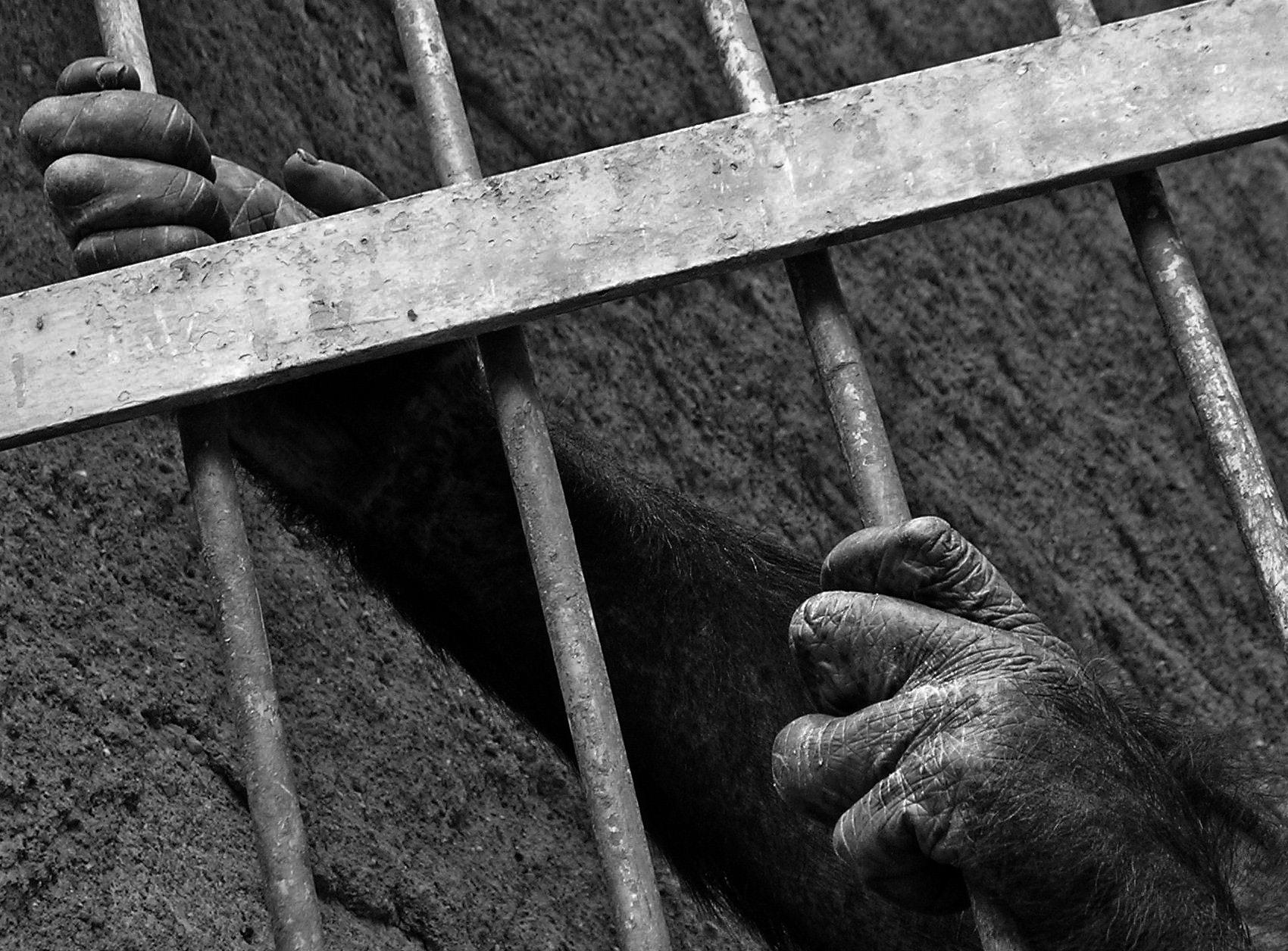 Caged Chimp. Mendoza, Argentina, 2008