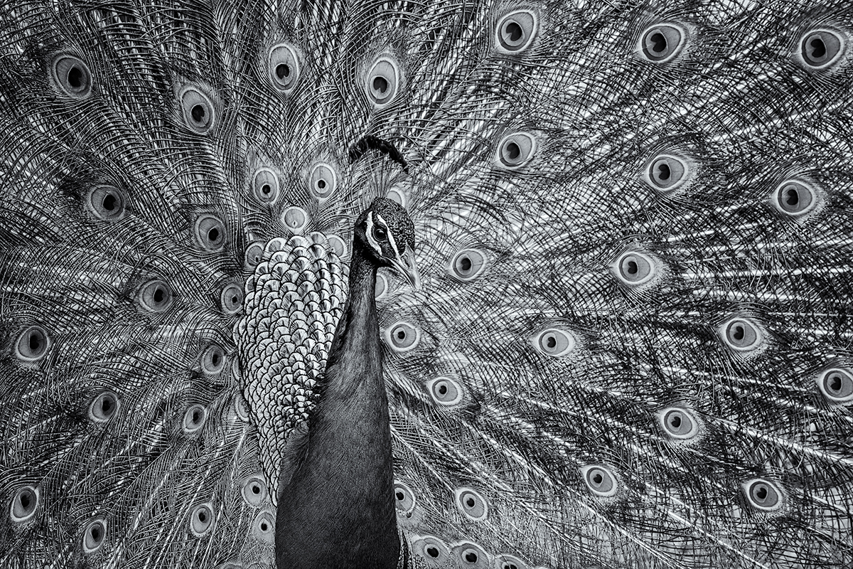 Peacock, Puttin' On the Ritz. Denver Zoo, Colorado, 2015