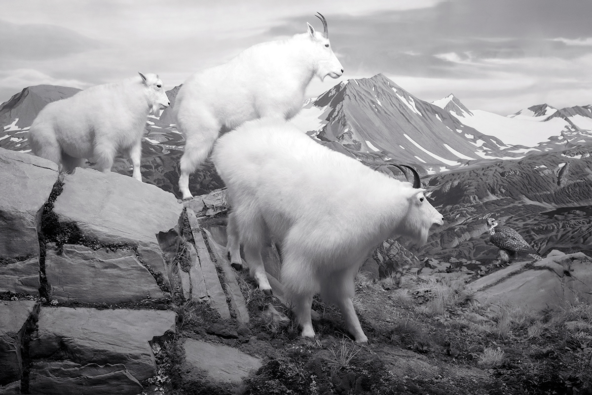 Mountain Goats. DMNS Nature Preserve, Colorado, 2015