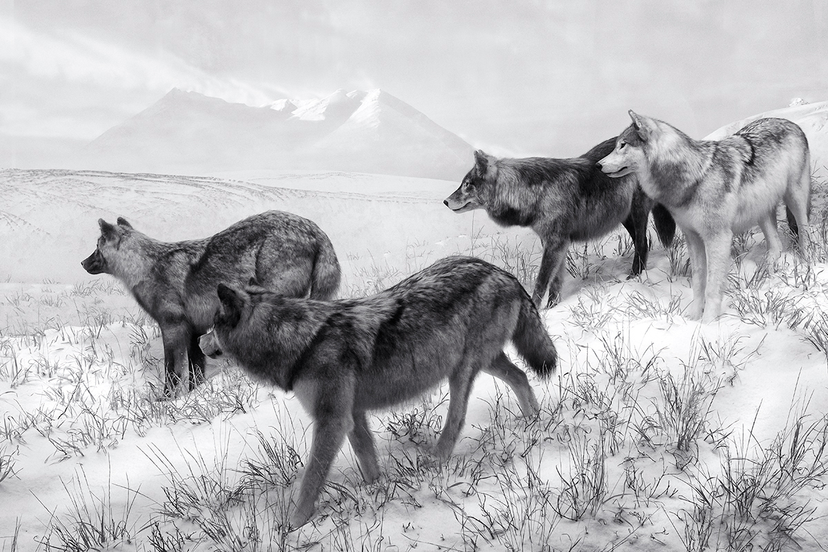 Wolf Pack. DMNS Nature Preserve, Wyoming, 2015