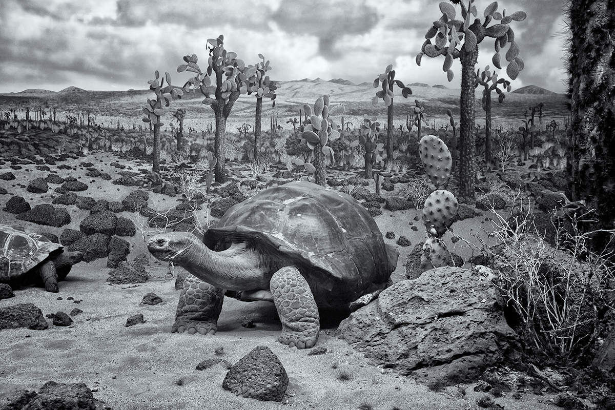 Giant Tortoise. DMNS Nature Preserve, Galapagos Islands, 2015