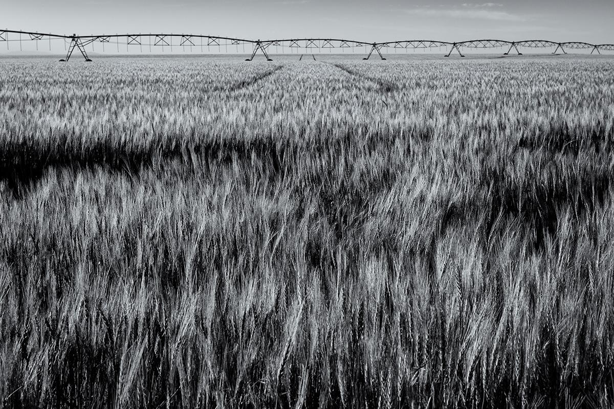 Wheat Field, #6. Colorado, 2015