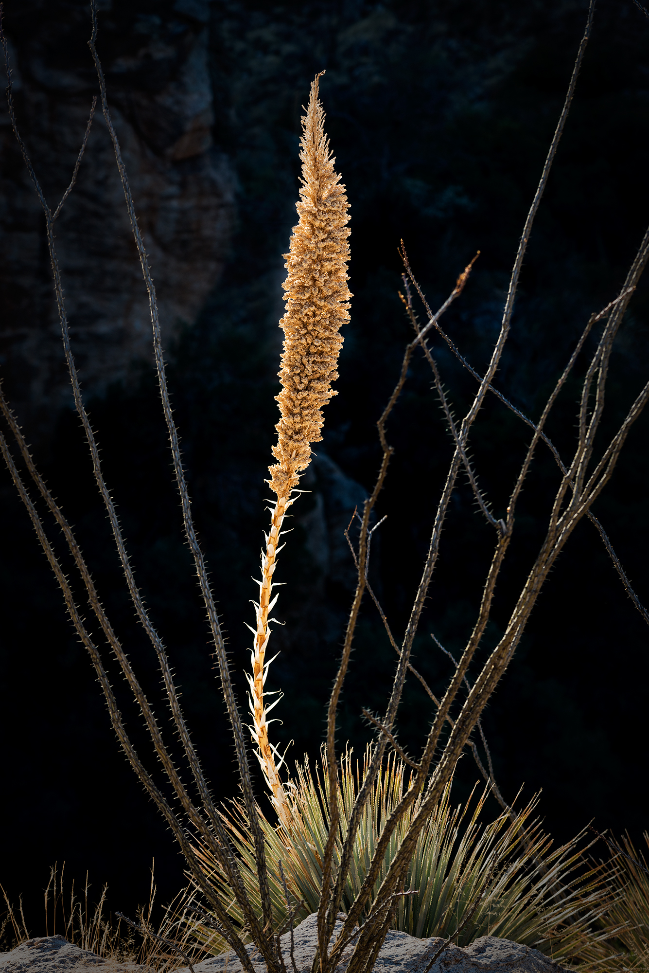Agave and Ocotillo. Mount Lemmon, Arizona, 2016