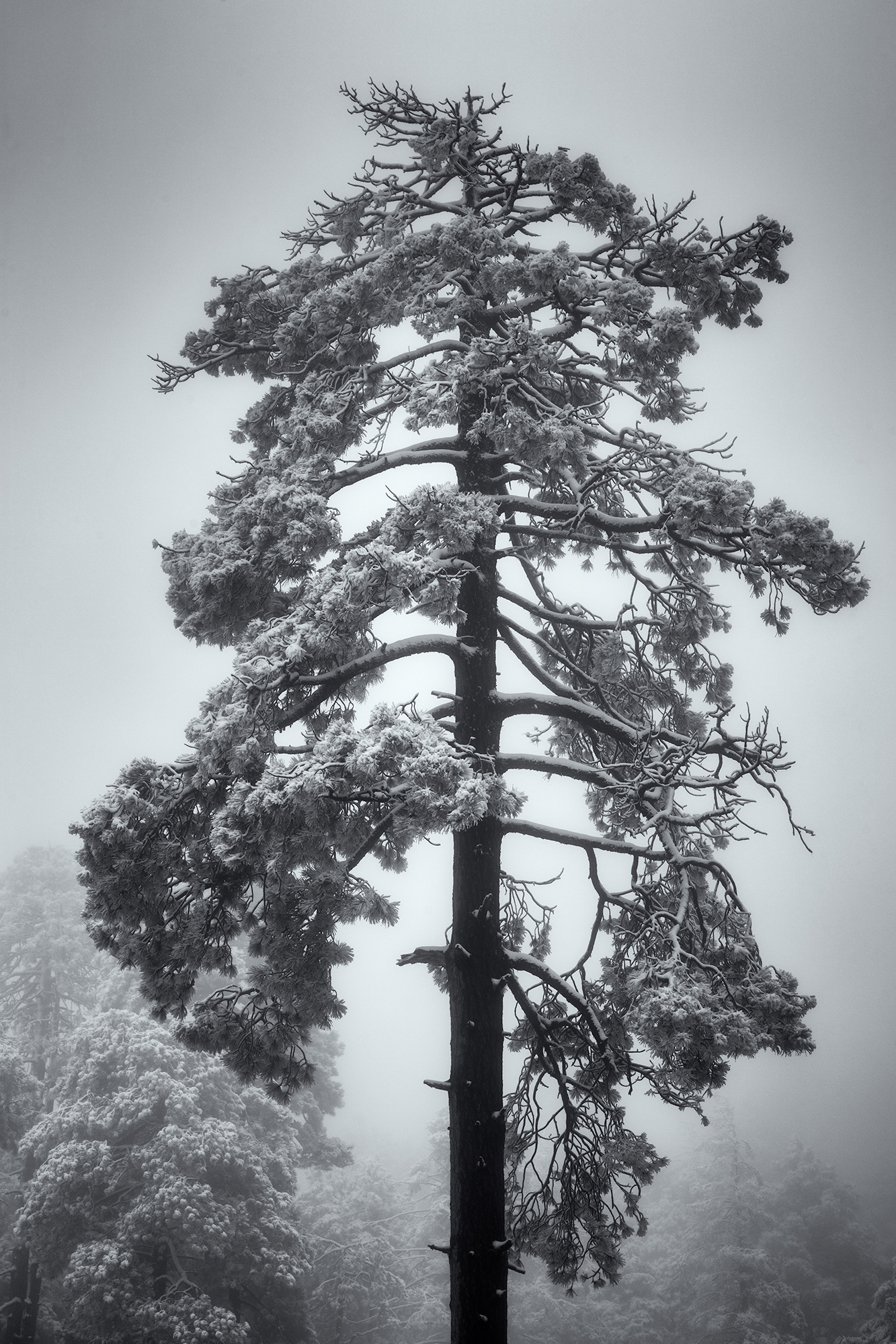 Tree in Fog and Snow. Mt. Lemon, Arizona, 2016
